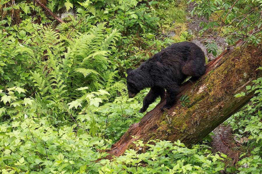 Black bear walking down fallen tree trunk, Anan Wildlife Observatory, Tongass National Forest, Southeast, Alaska