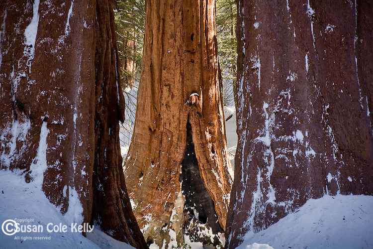 Giant Sequoias in a Sierra snowfall, Kings Canyon National Park, CA, USA. Sequoias grow only in a narrow range of altitude, and may live to be two thousand years old. They are the largest living thing on earth.
