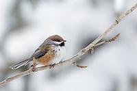 Boreal chickadee perched on balsam poplar branch in winter.