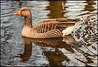 BNPS.co.uk (01202 558833)<br /> Pic:  DeniseAndrews/BNPS<br /> <br /> Calmer times....the greylag goose on the water in Poole Park, Dorset.<br /> <br /> This wild-foul mouthed goose gives a new meaning to the term angry bird.<br /> <br /> Nature lover Denise Andrews was visiting her local park in Poole, Dorset, to feed the ducks and take some photos of the wildlife when she encountered the bad tempered greylag goose.<br /> <br /> Denise crept to within a few inches of the male and captured the moment it squawked in her face - revealing several rows of of sharp teeth including two on its tongue.