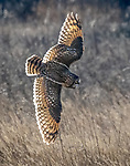 Canada, British Columbia, Boundary Bay, short-eared owl (Asio flammeus)