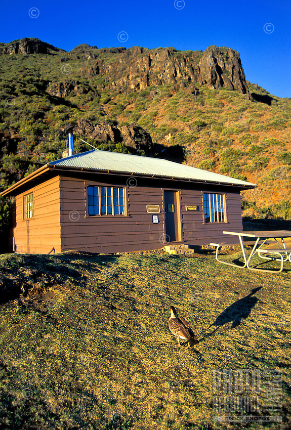 Nene goose, the hawaii state bird at Holua campground and cabin at Haleakala National park, Maui