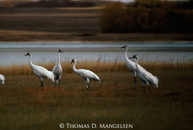 Group of whooping cranes standing in a field.