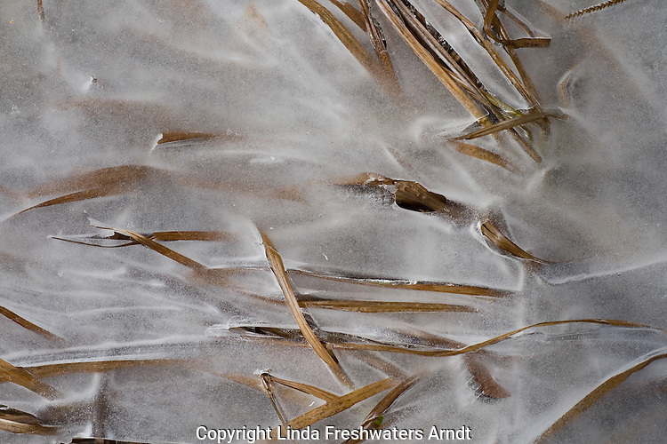 Dried grass frozen in the ice