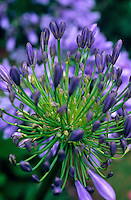 The showy head of Agapanthus, the African blue lily