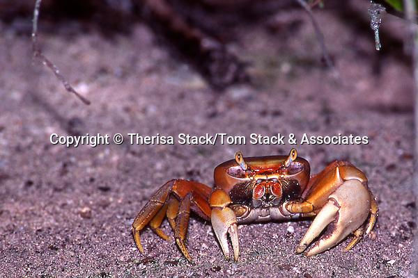 Fiddler Crab,Florida Everglades, Mangroves