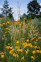 Western Wheat grass (Agropyron or Pascopyrum smithii) with yellow flower Mexican Hat (Ratibida columnifera) in Colorado meadow garden; design by Tom Peace