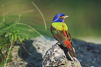 Painted Bunting, Passerina ciris, male , Uvalde County, Hill Country, Texas, USA
