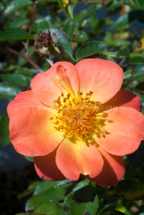 Rosa Oso Easy 'Paprika' orange rose