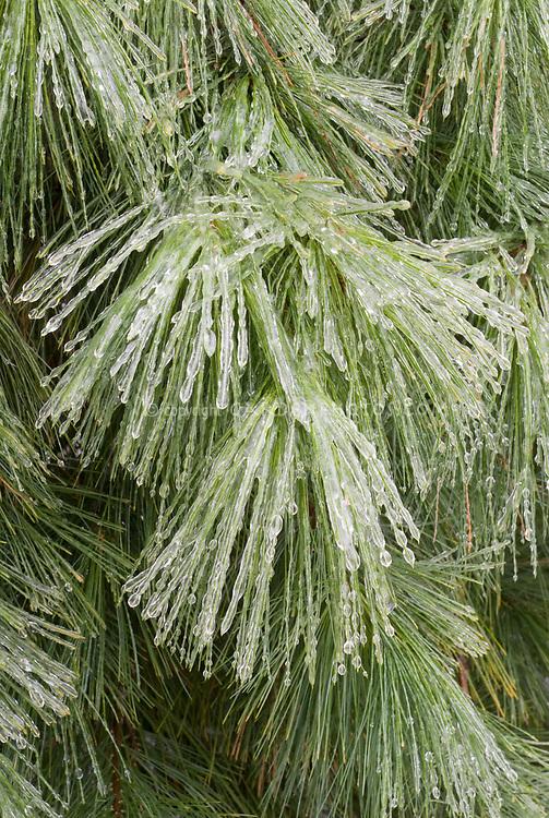 Pinus strobus in winter snow ice