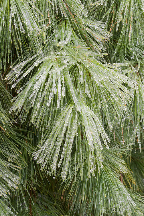 Pinus strobus in winter snow ice, pine tree needles evergreen iced