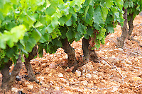 Prieure de St Jean de Bebian. Pezenas region. Languedoc. Vines trained in Gobelet pruning. Vine leaves. Old, gnarled and twisting vine. Villafranchien soil, calcareous rock, typical of the area, formed as the old river bed of the Herault river. The vineyard that has been planted with all 13 of the Chateauneuf-du-Pape grape varieties. Terroir soil. France. Europe. Vineyard. Calcareous limestone.