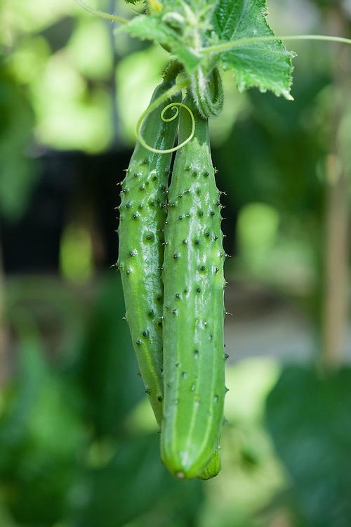 Cucumber 'Burpless Tasty Green' F1 hybrid.