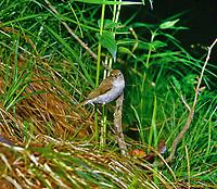Berg-Laubsänger, Berglaubsänger, Phylloscopus bonelli, Bonelli's warbler, Western Bonelli's warbler, Le Pouillot de Bonelli