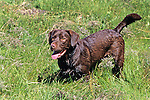 Chocolate Lab Mix