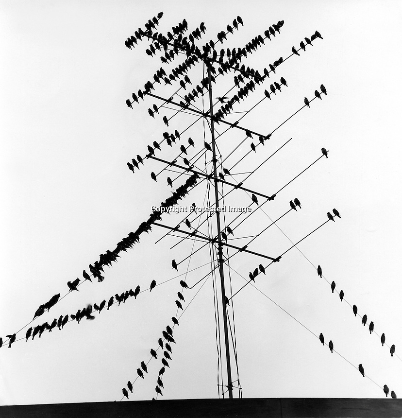 TV FOR THE BIRDS: Flock of birds sitting on Television antenna atop apartment house in Walnut Creek, Ca.1963 photo by Ron Riesterer