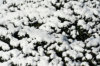 Fresh snow on a green bush in winter