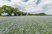 Linseed in flower - Lincolnshire, June