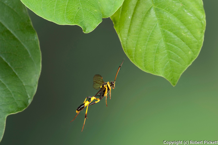 Field Digger Wasp, Mellinus arvensis, In flight, free flying, High Speed Photographic Technique.United Kingdom....