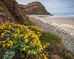 Lane County, OR: Blossoming monkey flower ( Mimulus guttatus) on a sheltered slole on the central Oregon coast.