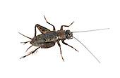 Wood Cricket - Nemobius sylvestris - male