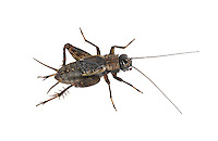 Wood Cricket - Nemobius sylvestris - male