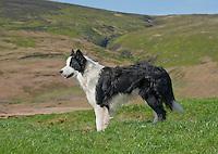 Border Collie sheepdog Joe at Saddle End Farm, Chipping, Lancashire.