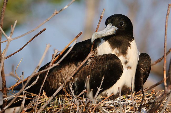 Adult female Magnificent Frigatebird (Fregata magnificens) incubating on a nest. Dry Tortugas NP, Florida. March.