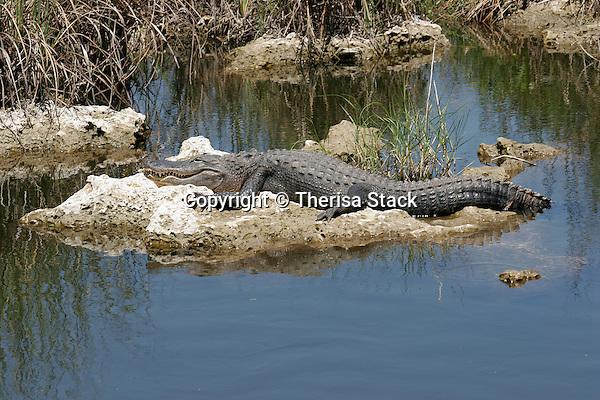 Alligator in solution hole, Everglades National Park, Florida