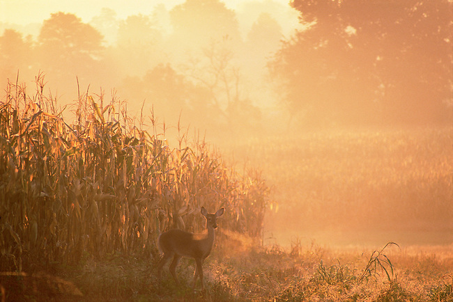 autumn, fall, white-tail deer, corn field, western Virginia, morning