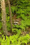 Wild Animals: Racoon