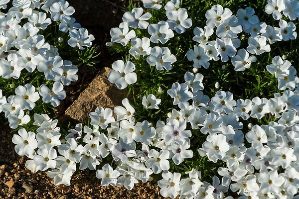 Phlox or spreading phlox (phlox diffusa).  Pacific Northwest.  Common alpine/subalpine wildflower.