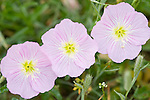 Columbia Ranch, Brazoria County, Damon, Texas; three pink Evening Primrose (Oenothera speciosa) flowers growing in a field
