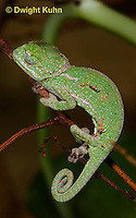 CH46-579z  Veiled Chameleon just hatched young, Chamaeleo calyptratus