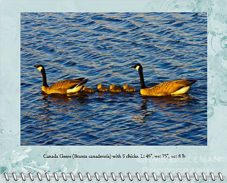 "May of the 2014 Birds of a Feather Calendar. Photo is called ""Canada Geese at Starry Dusk"".  A family of Canada Geese (Branta canadensis) with 5 chicks is swimming on a lake that is rendered from inspiration from Van Gogh's ""Starry Night"" painting.  The water has ripples and waves that mimic paintbrush strokes.  Photo taken at sunset during golden hour in the Ridgefield National Wildlife Refuge."