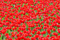 Field of red tulips . Mt. Vernon. Washington