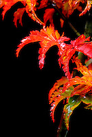 Japanese Maple, Acer palmatum 'Shishigashira' leaves in Fall after rain, in photographer's garden,  Vancouver, BC.