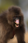 A female monkey looks as if she is trying to recreate the famous scene from the film 'Alien' as she bares her teeth and tries to scare off a nearby male.  The adult Gelada monkey lifts its upper lip to show off terrifying gums and razor-sharp teeth. <br /> <br /> As with many species of monkeys, this kind of aggressive pose is designed to ward off bigger animals or assert their dominance.  The pictures were taken in the Semien Mountains of Ethiopia, which consist of plateaus separated by valleys and sharp rocky pinnacles.   SEE OUR COPY FOR DETAILS.<br /> <br /> Please byline: Sachin Rai/Solent News<br /> <br /> © Sachin Rai/Solent News & Photo Agency<br /> UK +44 (0) 2380 458800