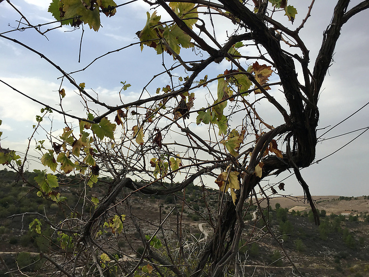 "Withered grape vine will bloom in the spring at the Biblical Preserve where I planted the ""Tree of Life"" for my recently deceased parents, Neot Kedumim (halfway between Tel Aviv and Jerusalem)"