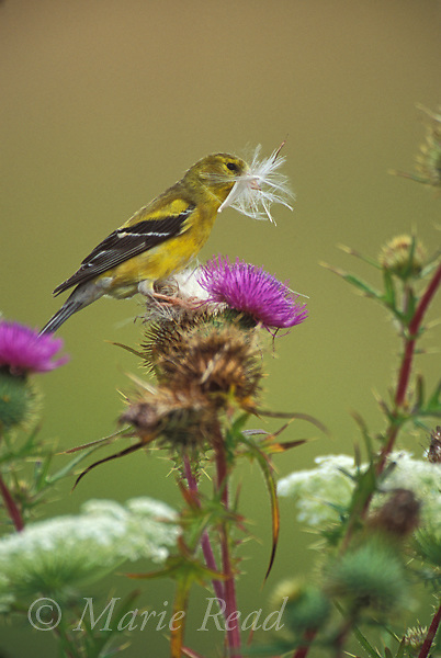 American Goldfinch (Carduelis tristis) female gathering thistle down as nest material in summer, Ithaca, New York, USA<br /> Slide # B167-369