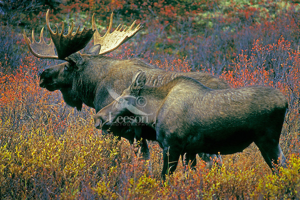 MOOSE bull & cow in tundra birch & willows. During rutting season bull stays with one cow for a week or so then finds another..Autumn. Denali National Park, Alaska. (Alces alces).