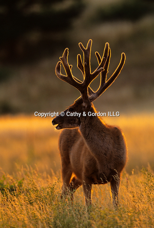 Backlit mule deer buck in velvet.  Boulder County, CO