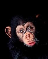 Expressive chimpanzee.