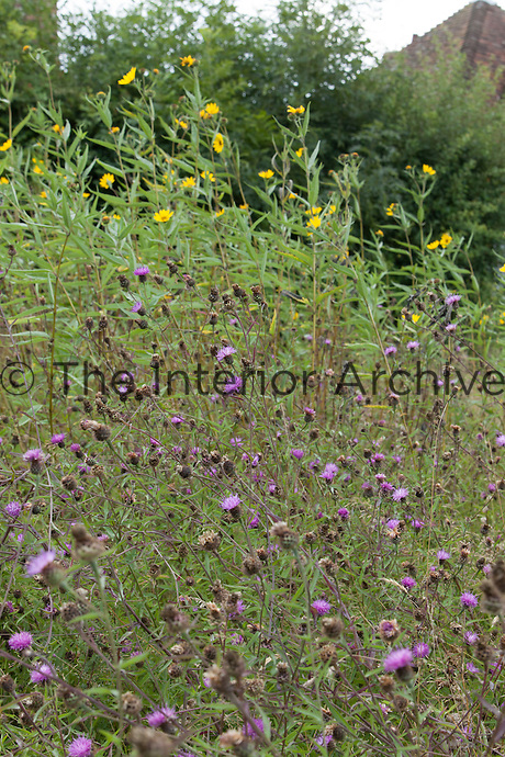 Wildflower meadow at Great Dixter with centaurea nigra and helianthus salicifolius