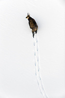 09.11.2008.Chamois (Rupicapra rupicapra). Walking in deep snow..Gran Paradiso National Park, Italy