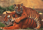 Tiger Play<br /> 5x7&quot; notecard with white envelope.<br /> Printed on recycled paper with soy-based ink.