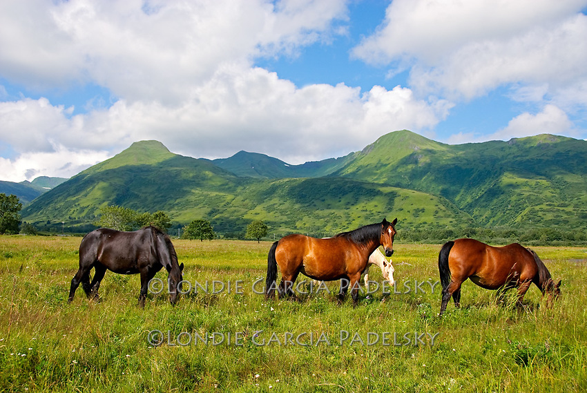 Horses grazing on Kodiak Island, Alaska