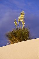 Yucca Tree in White Sands National Monument, New Mexico, USA