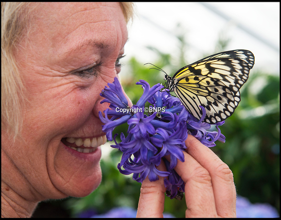 BNPS.co.uk (01202 558833)<br /> Pic: PhilYeomans/BNPS<br /> <br /> Butterfly curator Hilary Wood comes face to face with a Tree Nymph (Idea leuconoe) from SE Asia.<br /> <br /> Cold snap no problem for Blenheim's hot house butterflies...<br /> <br /> More than 5,000 native and exotic butterflies have started to emerge in Blenheim Palace's hot and humid Butterfly House.<br /> <br /> Head Gardener, Hilary Wood released dozens of exotic species from Malaysia, Africa, and the Philippines alongside a selection of native butterflies.<br /> <br /> Alongside the live butterflies that arrive in large boxes, staff also delivered around 180 pupae from Africa and the Philippines which have been placed in the Butterfly House's hatchery area where visitors can see them develop within their chrysalises.<br /> <br /> Garden staff have planted a wide variety of nectar-rich flowers including marguerite, black eyed Susan's, hydrangea and hibiscus. There are also sugar bowls and fruit from which the butterflies can feed.