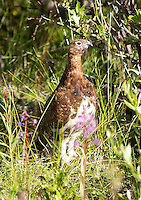 Grouse - Ptarmigan